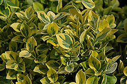 Mor Gold Wintercreeper (Euonymus fortunei 'Mor Gold') at Make It Green Garden Centre