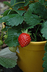 Kent Strawberry (Fragaria 'Kent') at Make It Green Garden Centre