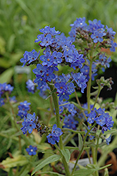 Blue Angel Summer Forget-Me-Not (Anchusa capensis 'Blue Angel') at Make It Green Garden Centre