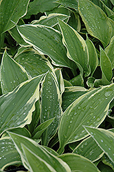 Antioch Hosta (Hosta 'Antioch') at Make It Green Garden Centre
