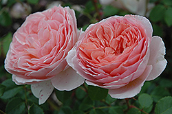 Abraham Darby Rose (Rosa 'Abraham Darby') at Make It Green Garden Centre
