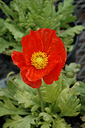 Garden Gnome Poppy (Papaver nudicaule 'Garden Gnome') at Make It Green Garden Centre