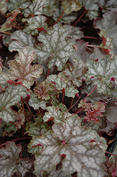 Can Can Coral Bells (Heuchera 'Can Can') at Make It Green Garden Centre