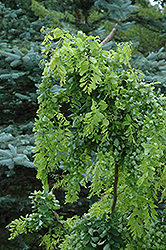 Twisted Baby® Black Locust (Robinia pseudoacacia 'Lace Lady') at Make It Green Garden Centre