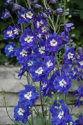 Blue Bird Larkspur (Delphinium 'Blue Bird') at Make It Green Garden Centre