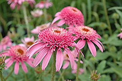Cone-fections™ Pink Double Delight Coneflower (Echinacea purpurea 'Pink Double Delight') at Make It Green Garden Centre