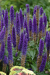 Royal Candles Speedwell (Veronica spicata 'Royal Candles') at Make It Green Garden Centre