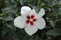 Lil' Kim® Rose of Sharon (Hibiscus syriacus 'Antong Two') at Make It Green Garden Centre