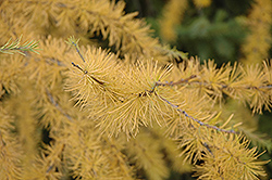 Tamarack (Larix laricina) at Make It Green Garden Centre