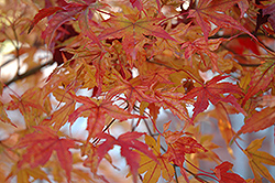 Butterfly Variegated Japanese Maple (Acer palmatum 'Butterfly') at Make It Green Garden Centre