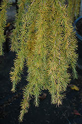 Varied Directions Larch (Larix decidua 'Varied Directions') at Make It Green Garden Centre