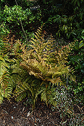 Autumn Fern (Dryopteris erythrosora) at Make It Green Garden Centre