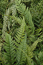 Korean Rock Fern (Polystichum tsus-simense) at Make It Green Garden Centre