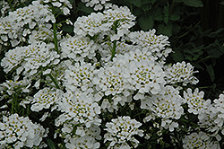 Purity Candytuft (Iberis sempervirens 'Purity') at Make It Green Garden Centre