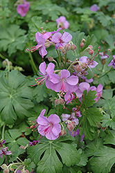 Cambridge Cranesbill (Geranium x cantabrigiense 'Cambridge') at Make It Green Garden Centre