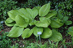 Sum and Substance Hosta (Hosta 'Sum and Substance') at Make It Green Garden Centre