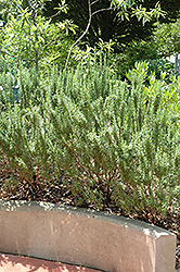 Spice Islands Rosemary (Rosmarinus officinalis 'Spice Islands') at Make It Green Garden Centre
