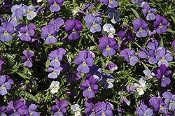 Rain Blue and Purple Pansy (Viola x wittrockiana 'Rain Blue and Purple') at Make It Green Garden Centre