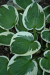 Minuteman Hosta (Hosta 'Minuteman') at Make It Green Garden Centre