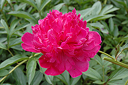 Felix Crousse Peony (Paeonia 'Felix Crousse') at Make It Green Garden Centre