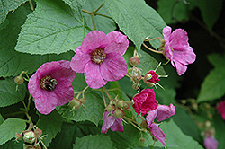 Flowering Raspberry (Rubus odoratus) at Make It Green Garden Centre