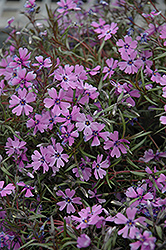 Purple Beauty Moss Phlox (Phlox subulata 'Purple Beauty') at Make It Green Garden Centre