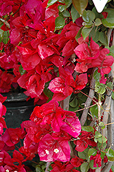 Scarlett O'Hara Bougainvillea (Bougainvillea 'Scarlett O'hara') at Make It Green Garden Centre