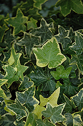 Gold Child Ivy (Hedera helix 'Gold Child') at Make It Green Garden Centre