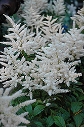 Deutschland Astilbe (Astilbe japonica 'Deutschland') at Make It Green Garden Centre