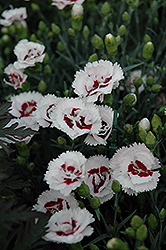 Scent First® Coconut Surprise Pinks (Dianthus 'WP05Yves') at Make It Green Garden Centre