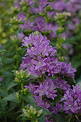 Freya Clustered Bellflower (Campanula glomerata 'Freya') at Make It Green Garden Centre