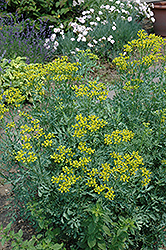 Common Rue (Ruta graveolens) at Make It Green Garden Centre