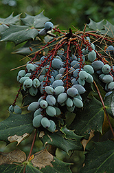 Oregon Grape (Mahonia aquifolium) at Make It Green Garden Centre