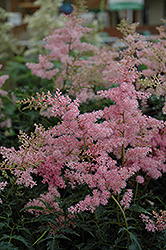 Drum And Bass Astilbe (Astilbe 'Drum And Bass') at Make It Green Garden Centre