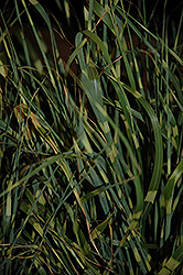 Gold Breeze Maiden Grass (Miscanthus sinensis 'Gold Breeze') at Make It Green Garden Centre