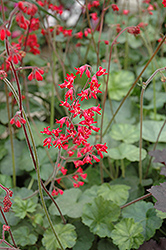 Firefly Coral Bells (Heuchera 'Firefly') at Make It Green Garden Centre