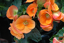 Dark Britt Begonia (Begonia 'Dark Britt') at Make It Green Garden Centre
