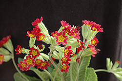Sunset Shades Cowslip (Primula veris 'Sunset Shades') at Make It Green Garden Centre