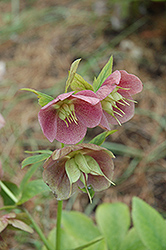 Pink Lady Hellebore (Helleborus 'Pink Lady') at Make It Green Garden Centre