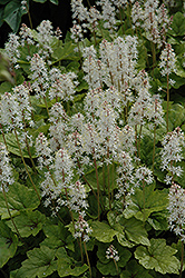 Inkblot Foamflower (Tiarella 'Inkblot') at Make It Green Garden Centre