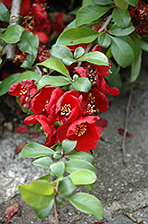 Crimson and Gold Flowering Quince (Chaenomeles x superba 'Crimson and Gold') at Make It Green Garden Centre