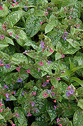 Excalibur Lungwort (Pulmonaria 'Excalibur') at Make It Green Garden Centre