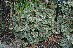Green Spice Coral Bells (Heuchera 'Green Spice') at Make It Green Garden Centre