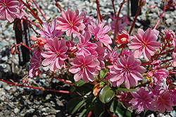 Bitterroot (Lewisia cotyledon) at Make It Green Garden Centre