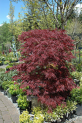 Red Dragon Japanese Maple (Acer palmatum 'Red Dragon') at Make It Green Garden Centre