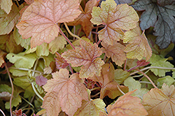 Redstone Falls Foamy Bells (Heucherella 'Redstone Falls') at Make It Green Garden Centre