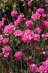 Red-leaved Sea Thrift (Armeria maritima 'Rubrifolia') at Make It Green Garden Centre