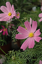 Sensation Cosmos (Cosmos 'Sensation') at Make It Green Garden Centre
