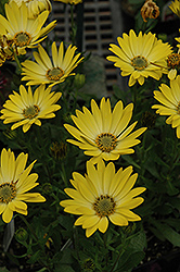 Sunadora Acapulco African Daisy (Osteospermum 'Sunadora Acapulco') at Make It Green Garden Centre