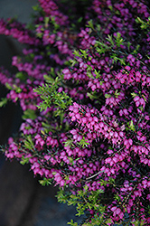 Kramer's Rote Heath (Erica carnea 'Kramer's Red') at Make It Green Garden Centre